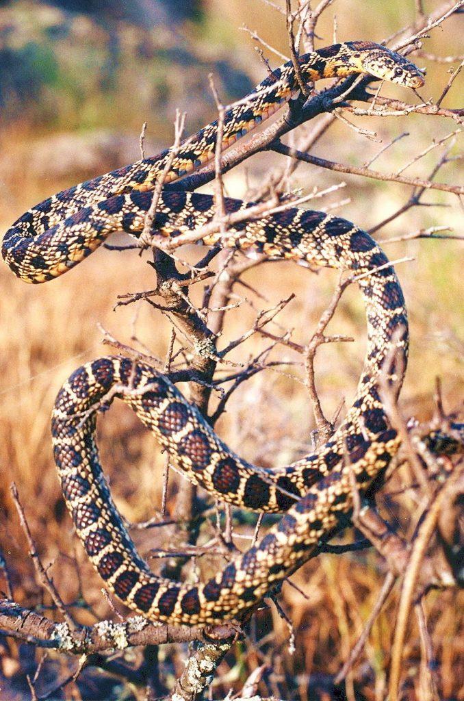 La misma piel de la serpiente funciona como remedio (Foto: Jimber)