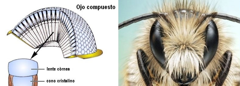 04-ojo-compuesto-de-abeja